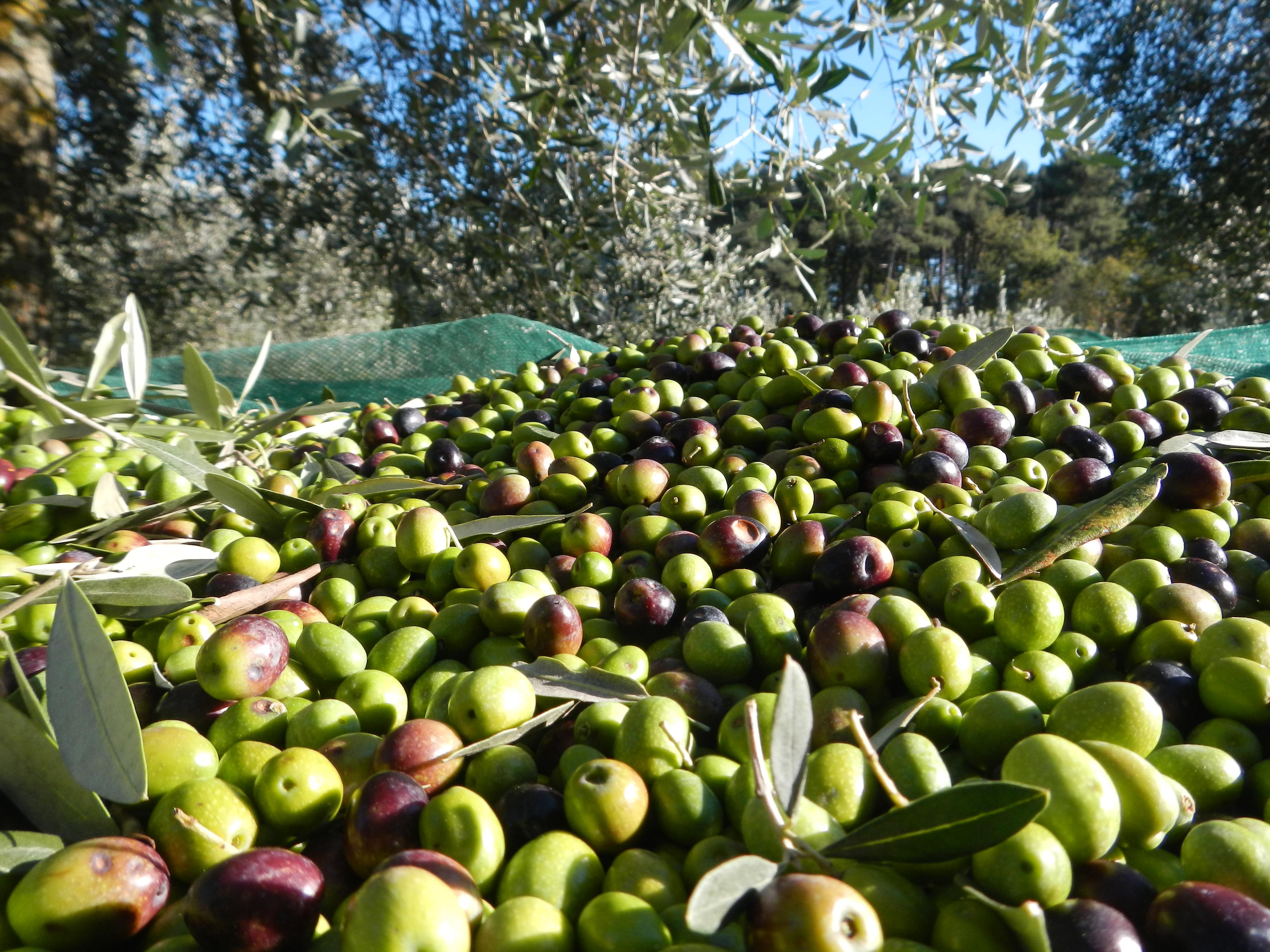 Racolta olive mulino elettrico per cereali professionale for Raccolta olive periodo