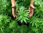 Due arrestati a Bracciano con con l'accusa di produzione e detenzione di sostanze stupefacenti ai fini di spaccio