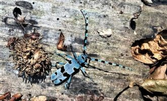 Oriolo: il coleottero Rosalia alpina nei boschi di monte Raschio