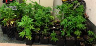 Comunicato stampa Compagnia di Bracciano: Morlupo – coltiva piantagione di marijuana sul balcone