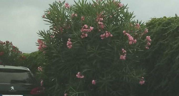 """M5S Ladispoli: """"Capitozzatura non necessaria di alberi"""""""