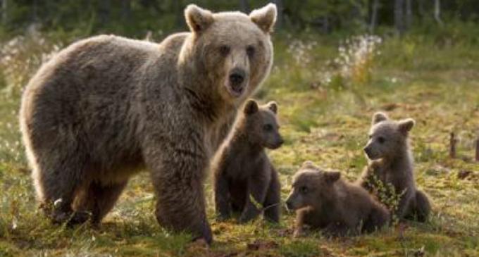 """Abbattimento orso in Trentino, interviene il governo: """"Impugnare l'ordinanza"""""""