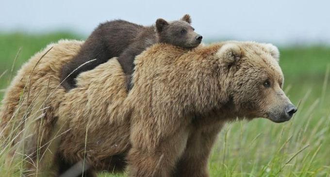 petizione: salviamo l'orso del Trentino dall'uccisione