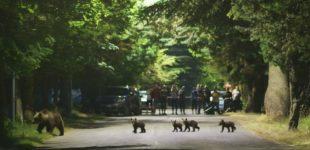 Abruzzo, mamma orsa con i quattro cuccioli attraversa la strada a Villalago