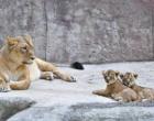 Bioparco Roma battezza due cucciole di leone asiatico, evento storico