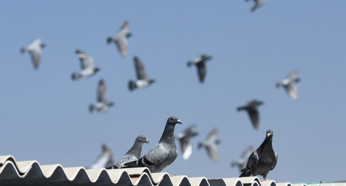 """Il """"Tour de France"""" dei piccioni sconvolto da 11 morti sospette"""