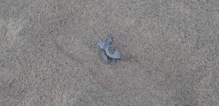 Campo di Mare, iniziata la schiusa delle uova: le prime tartarughe sono nate!